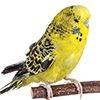 Budgie Perches
